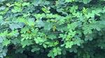 Vợ chết, chồng nguy kịch vì chữa bệnh bằng lá cây lạ