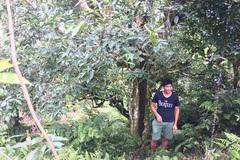 Loại trà đặc biệt Trung Quốc bán gần 40 tỷ đồng/kg, Việt Nam còn cả rừng