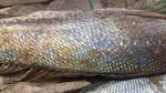 Ngư dân bắt được cá lạ óng ánh nặng 12kg, 1,1m nghi sủ vàng quý hiếm