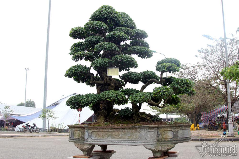 cây sanh,cây cảnh,Hà Nội
