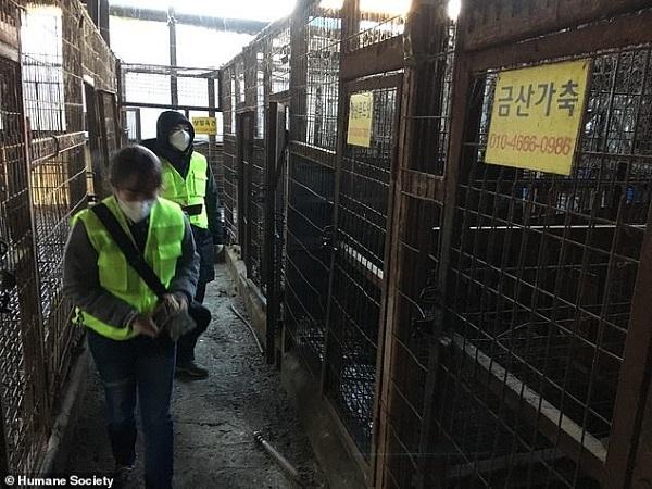 Bên trong lò giết mổ chó lớn nhất Hàn Quốc