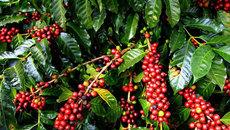 Giá cà phê hôm nay 26/11: Thị trường trầm lắng