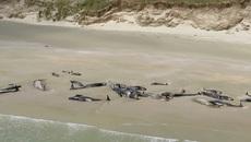 Bí ẩn hơn trăm con cá voi phơi xác trên bờ biển