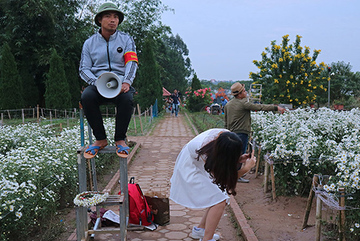 Vườn cúc họa mi 'thất thủ' vì quý cô Hà thành làm điều này