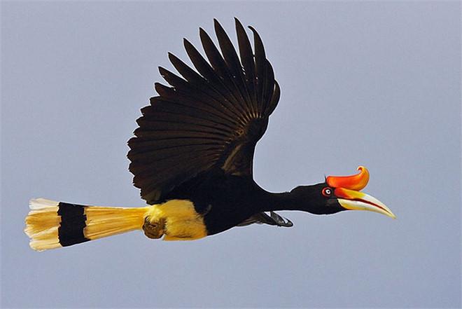 phượng hoàng,chim quý