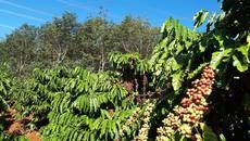 Giá cà phê hôm nay 28/11: Tăng 400 đồng/kg