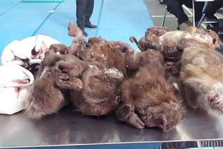 Nghệ An: Bắt giữ ô tô chở 6 con khỉ đã chết