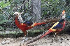 Đột kích trại chim quý trăm triệu được nhiều đại gia săn lùng