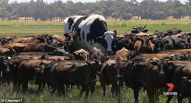 Chú bò không bị giết thịt nhờ thân hình quá khổ