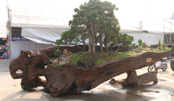 Cặp bonsai mọc trên gốc cây củi mục 'trăm tuổi' giá bạc tỷ ở Hà Nội