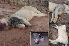 6 người Việt tham gia giết tới 40 con sư tử và hổ ở Nam Phi chỉ trong 2 ngày