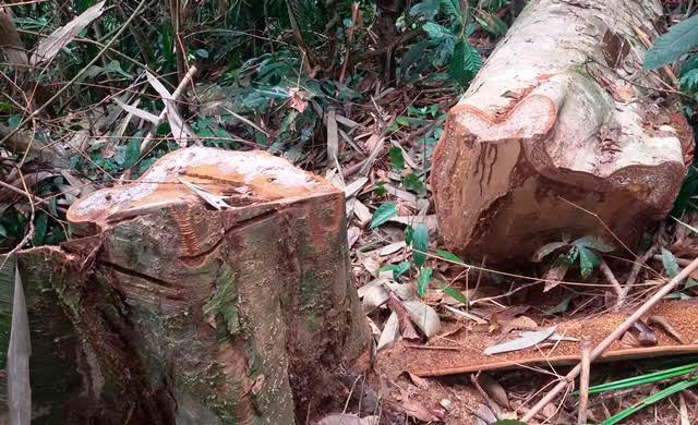 phá rừng,kiểm lâm,bảo vệ rừng