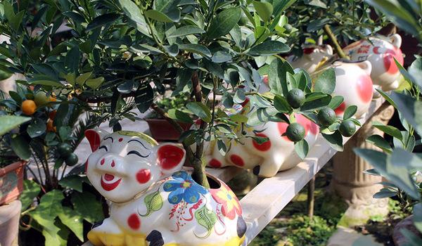 Heo vàng 5 triệu cõng quất bonsai chào tết Đinh Hợi 2019