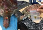 Đà Nẵng: Nội soi gắp dị vật cứu sống rùa biển bị ngộ độc rác