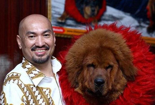 Ngao Tây Tạng: Thú cưng triệu đô vào... lò mổ, lên bàn nhậu