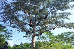 Kỳ lạ: 60 tổ ong rừng trên cây gạo, 30 triệu/tổ không bán