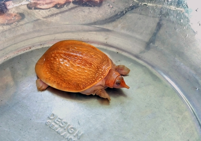 Cặp rùa đột biến vàng rực: Nhỏ tý hon giá 60 triệu không bán