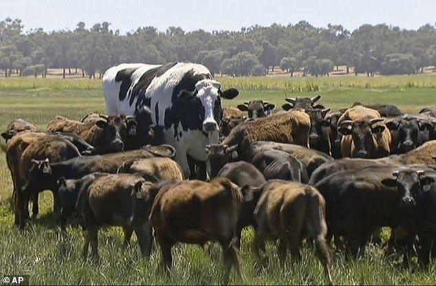 Bò đột biến gien, cơ bắp cuồn cuộn như lực sĩ