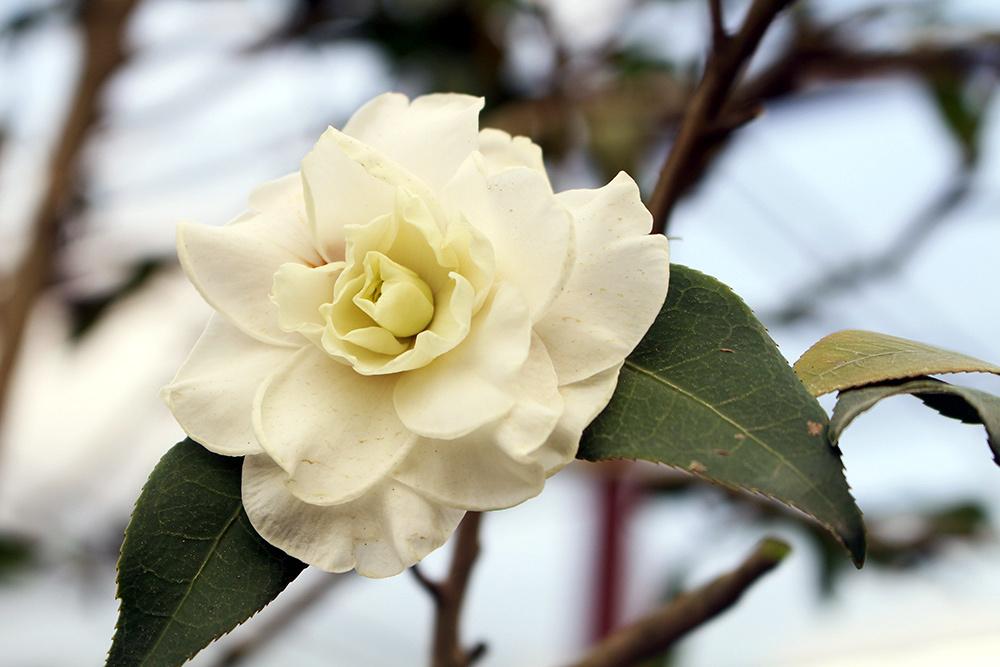 Hoa bạch trà khoe sắc sớm