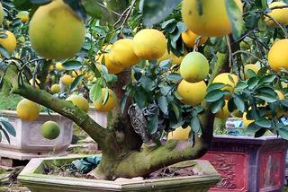 Cây bưởi cổ hiếm có: Cao hơn 4 mét, sai trĩu 300 quả vàng rực