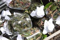 Cỏ lạ được Trung Quốc mua giá chục triệu/kg, dân đổ xô vào rừng tìm