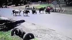Kinh hoàng bò húc người đi xe máy văng xuống lề đường
