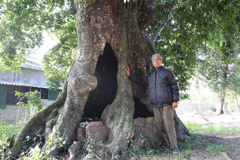 5 cây thị gần 700 tuổi linh thiêng trả chục tỷ không ai bán