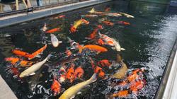 Ngắm hồ cá Koi tiền tỷ của dân chơi phố Núi