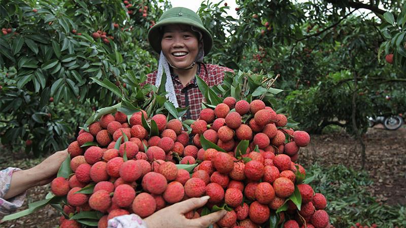 Tỷ phú nông dân,làng tỷ phú,vải thiều Lục Ngạn,nông trường Mộc Châu,bò sữa,làng đồng nát,xuất khẩu lao động