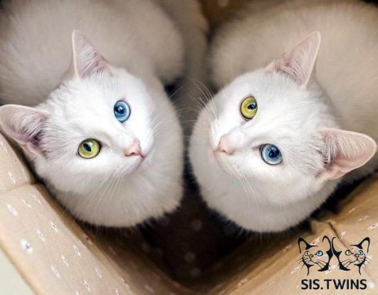 Ngắm cặp mèo song sinh gây 'sốt' vì cặp mắt dị sắc