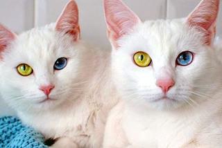 """Ngắm cặp mèo song sinh gây """"sốt"""" vì cặp mắt dị sắc"""