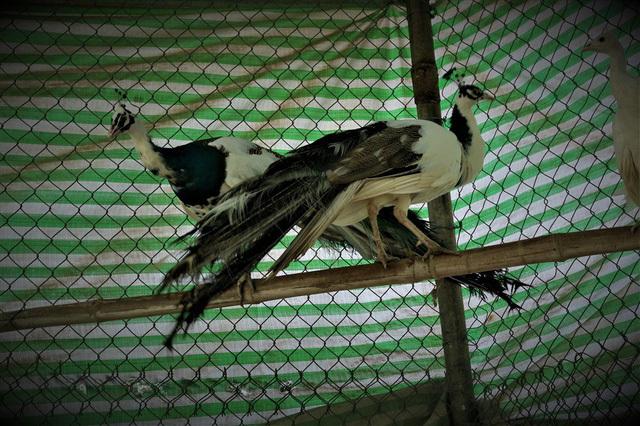 Trại chim đột biến gen quý hiếm: Giá 100 triệu đồng/cặp