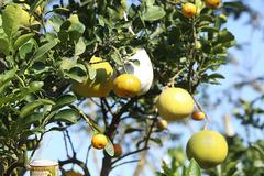'Siêu' cây 11 loại quả ở Hà Nội: Đại gia Sài thành đáp máy bay ra đặt mua