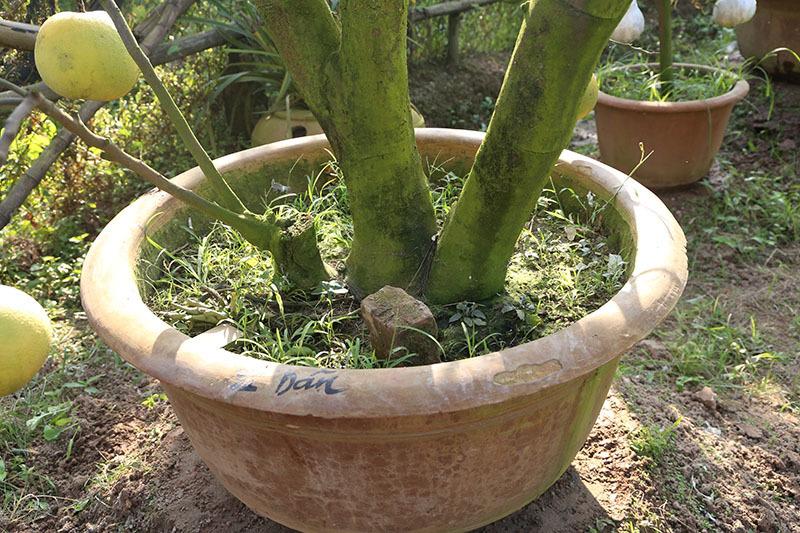 trồng bưởi,cây ngũ quả,chơi Tết,Tết Nguyên đán