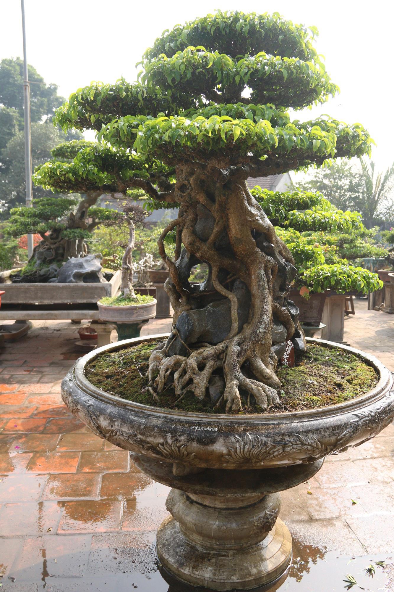 Sanh cổ dáng phượng giá triệu đô của ông vua cây cảnh Việt Nam