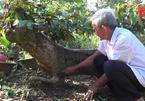 Cây vú sữa dáng long 'độc' nhất xứ dừa, được định giá hơn 300 triệu đồng