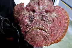 Cá mặt quỷ siêu xấu giá vẫn gần chục triệu đồng/con
