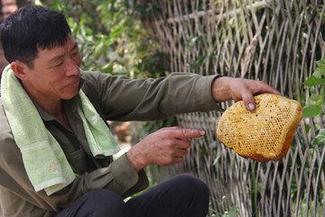 Ly kỳ chuyện săn mật của loài ong hung dữ nơi rừng Tây Yên Tử