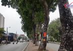 Hà Nội chặt, dịch chuyển hơn 400 cây xanh mở rộng đường Láng