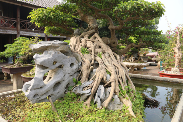 Đại gia gạ đổi 4 lô đất giá 9 tỷ lấy cây sanh cổ ôm đá đẹp hiếm có