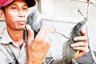 Nuôi loài 'khủng long mi ni' thích ăn bầu bí, bán 300.000 đồng/ký