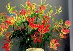 Loài hoa đỏ rực lửa từ Nhật 'đốt' túi tiền khách dịp Tết