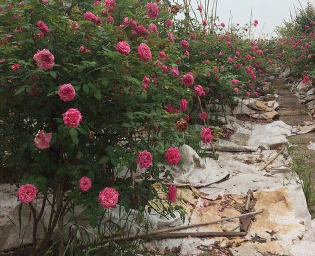 Những gốc hoa hồng cổ siêu đắt đỏ của đại gia Việt