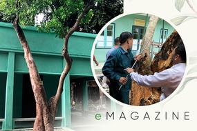 90 giờ cân não cứu sống cây trường xanh trong Khu di tích Phủ Chủ tịch