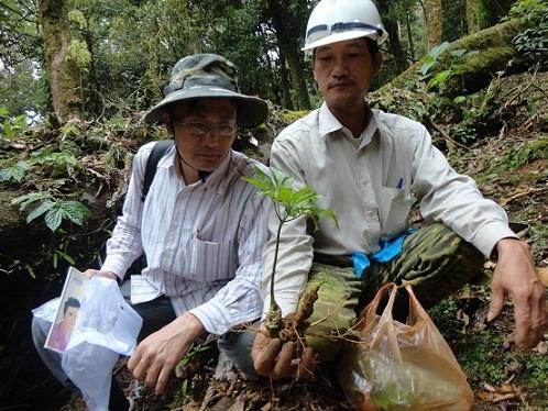 Quảng Nam: Sốc với giá của sâm Ngọc Linh được đẩy lên 150 triệu/kg