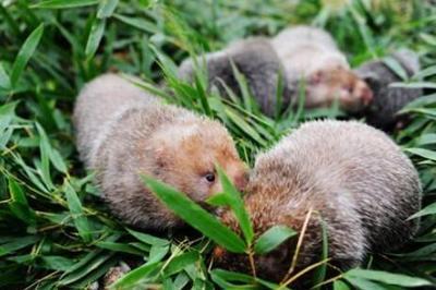 Nuôi chuột bằng thứ lá mọc đầy ở Việt Nam, mỗi năm thu lãi tiền tỷ