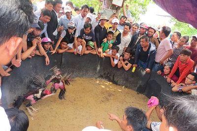 Bí mật kỳ thú về gà chọi: Uống nhân sâm, ăn thịt bò