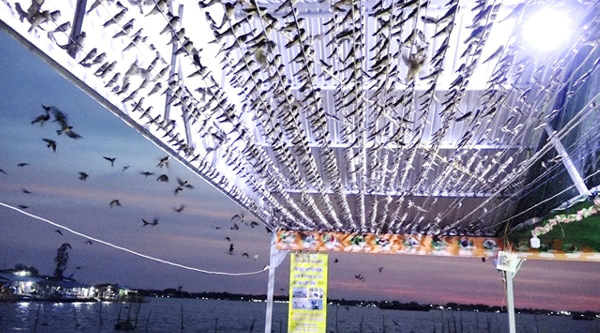 Hiếm có: Hàng ngàn chim én đậu kín nhà 1 người dân