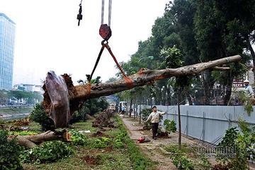 Hà Nội khai tử hàng cây đẹp nhất ven sông Tô Lịch