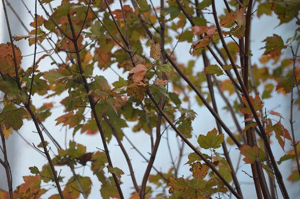 Hà Nội: phong lá đỏ chuyển màu sau 1 năm